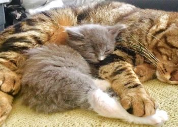 gatto-adulto-aiuta-gattino-orfano