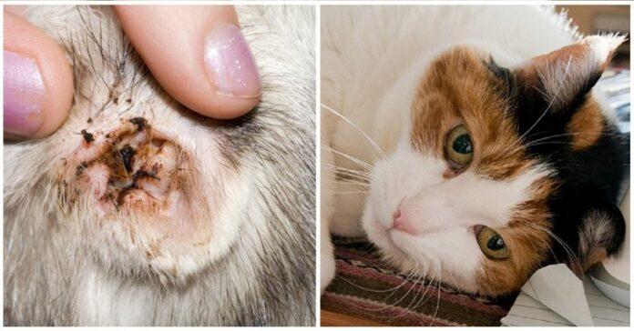 acari nelle orecchie del gatto