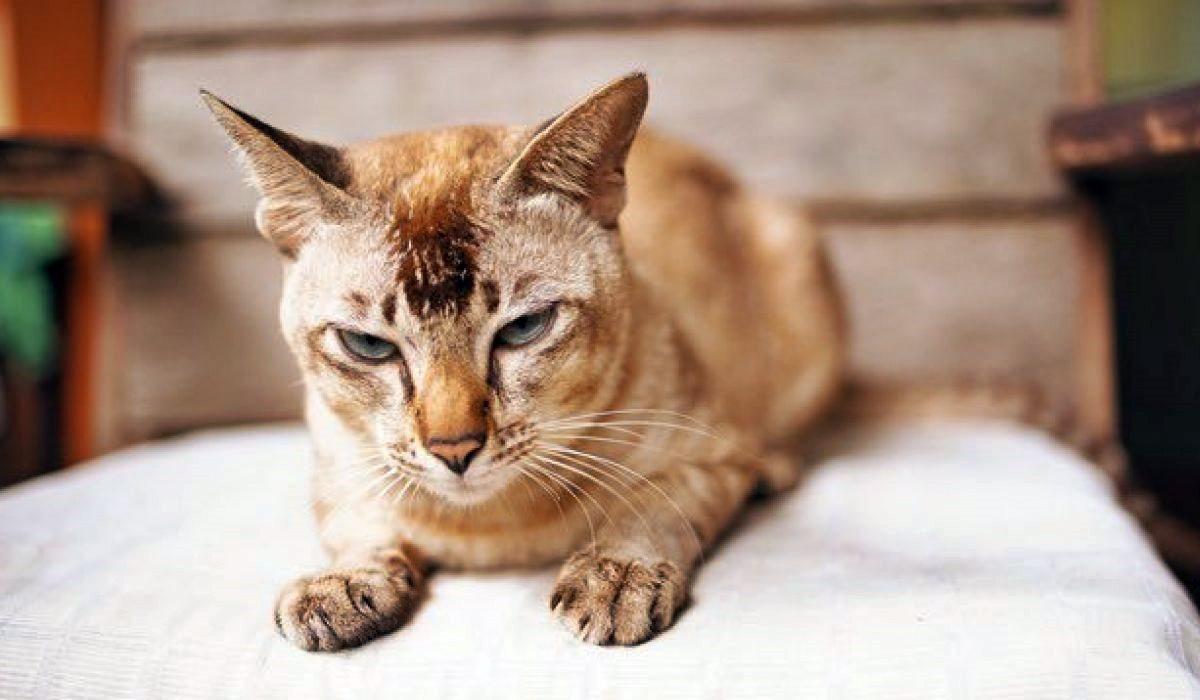 gatto con il pelo ingrigito dalla vecchiaia