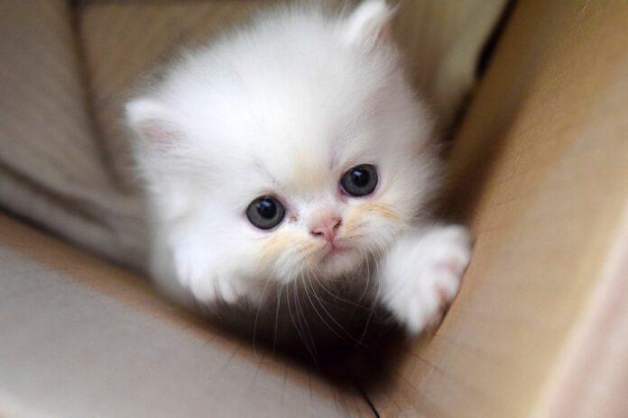 un gattino bianco appena nato
