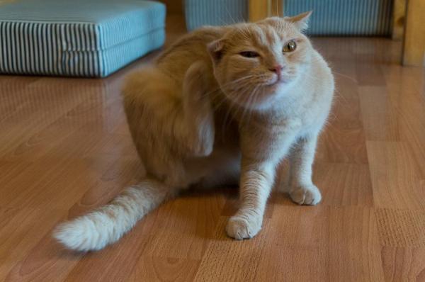 gatto con acari che si gratta