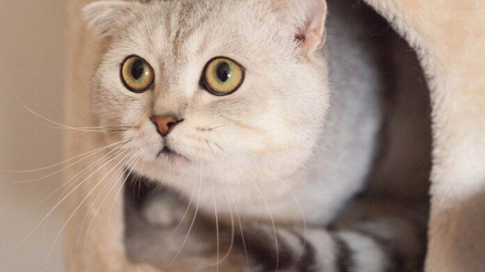 un gatto adulto impaurito
