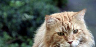 un gatto maine coon