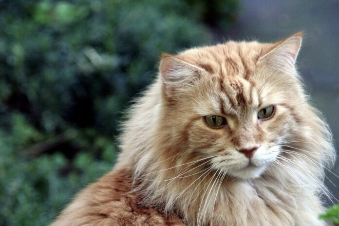 un gatto maine coon