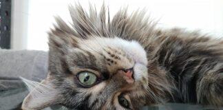 gatto maine coon giocherellone