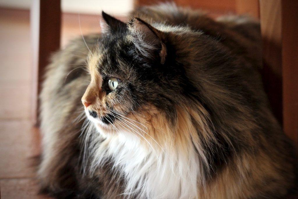 Gatto Persiano Il Mio Gatto è Leggenda