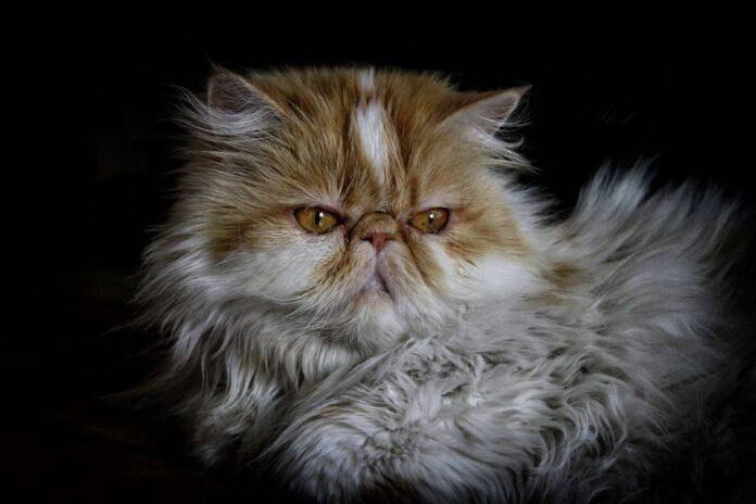 il pelo del gatto persiano