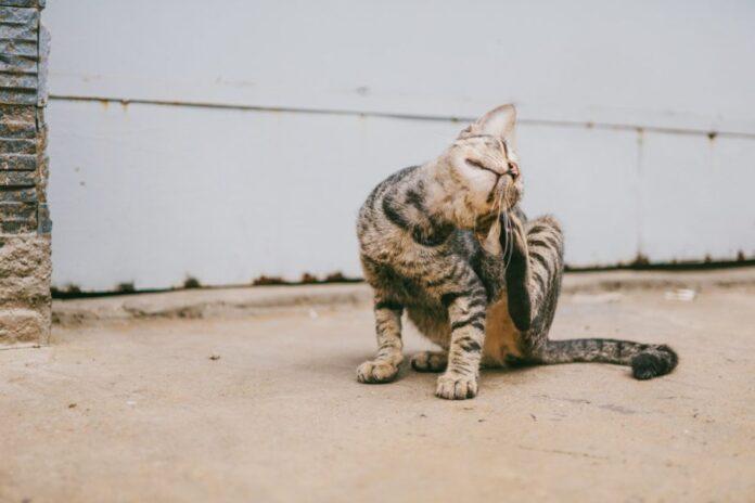 gatto-si-gratta