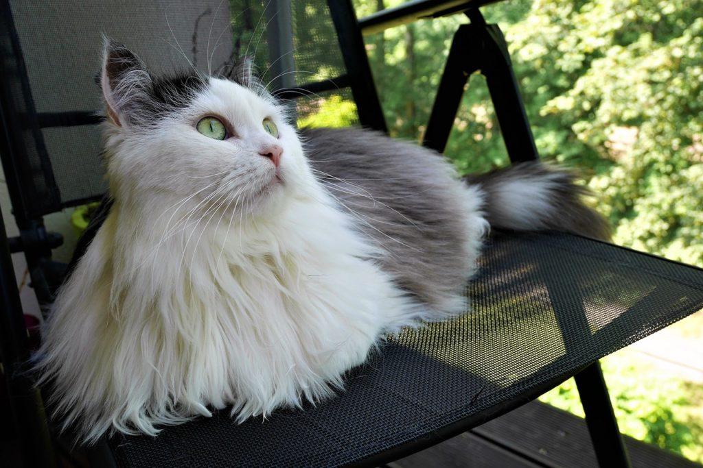 un gatto siberiano seduto