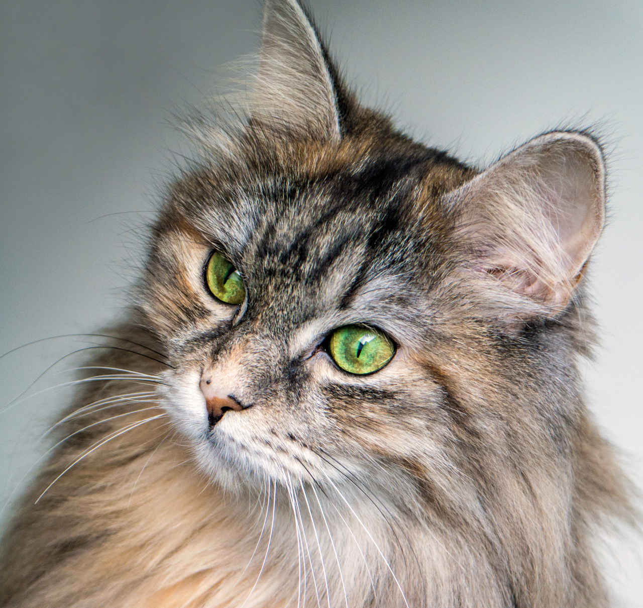 un gatto siberiano
