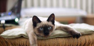 un gatto thailandese