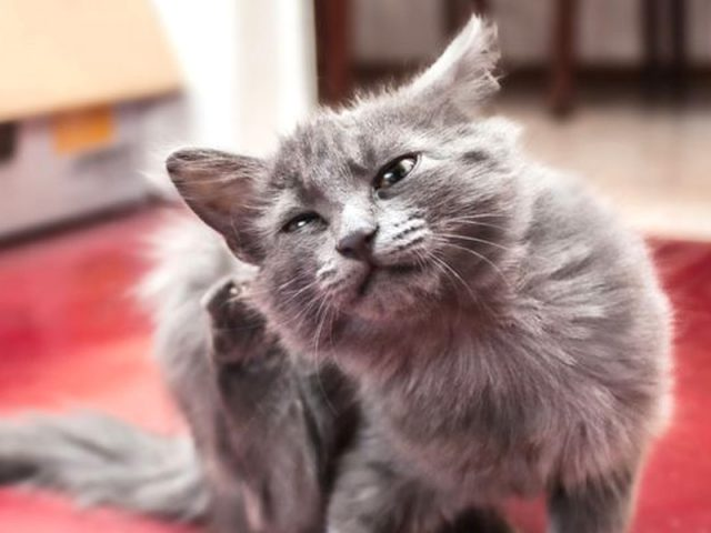 lacerazione-orecchie-da-acari-gatto