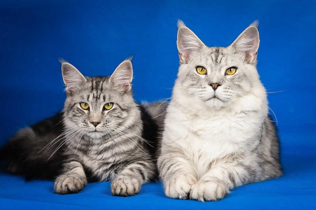 un gatto di razza maine coon