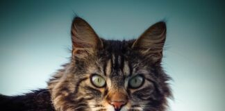 maine-coon-carattere