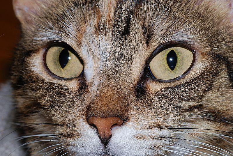 malattia degli occhi dei gatti