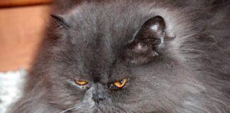 occhi-gatto-persiano