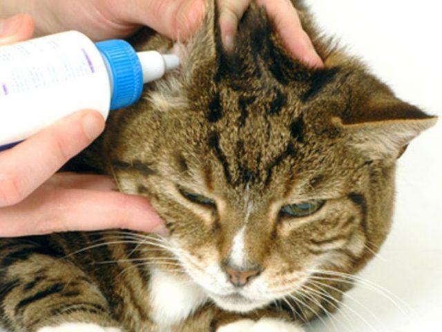 pulire le orecchie del gatto dagli acari