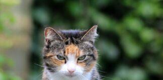un gatto adulto apatico