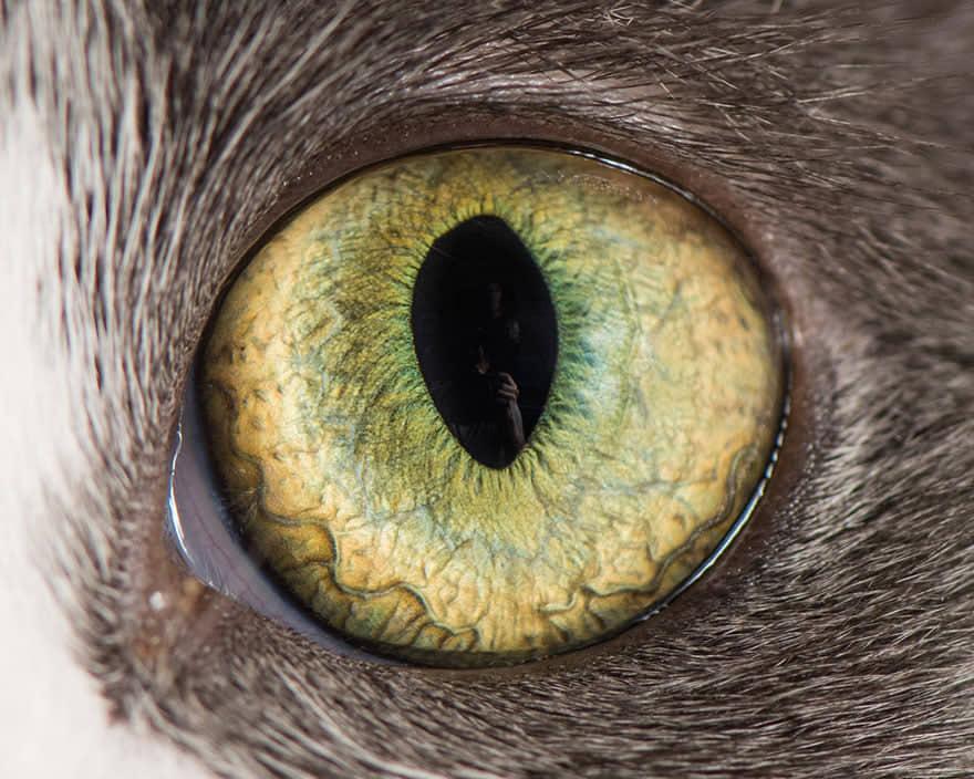 occhio di gatto grigio