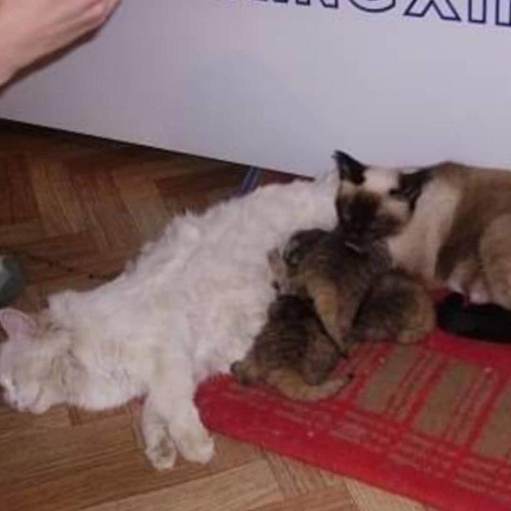 gatte che allattano