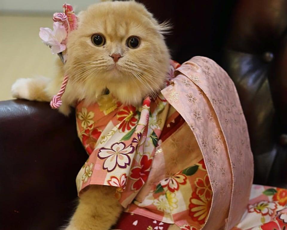 il gatto orientale