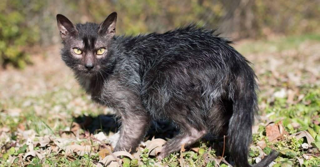 lykoi gatto lupo o gatto mannaro