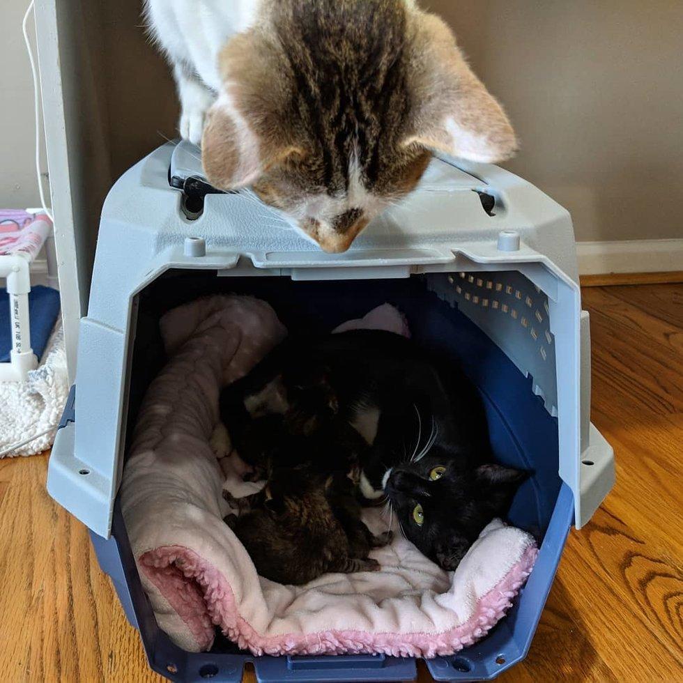 gatto-che-guarda-dentro-al-trasportino