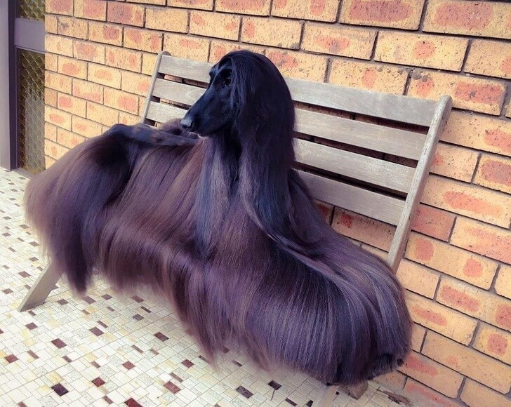 cane-con-parrucca
