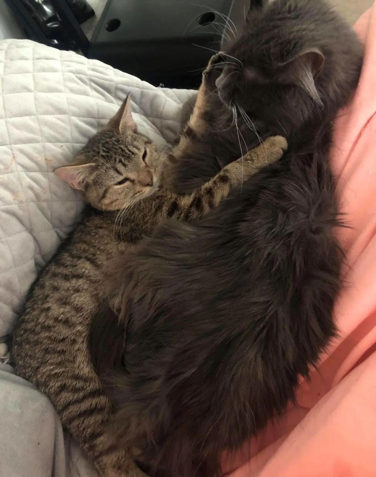 Gatta-abbraccia-gatto