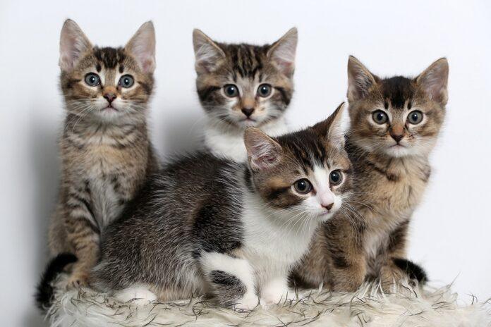 quattro gattini