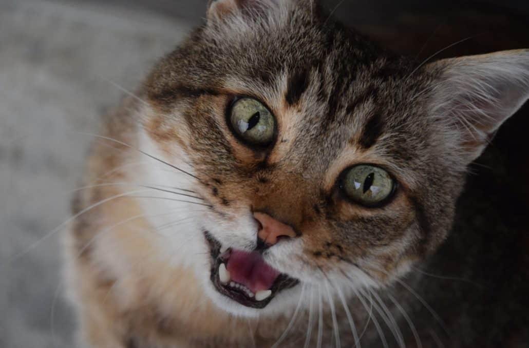 il gatto miagola