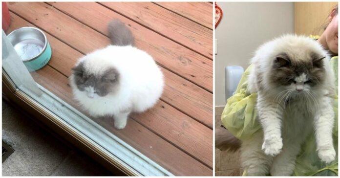 Gatto-chiede-aiuto-al-vicino-di-casa