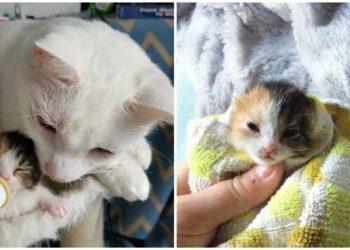 Papà-gatto-surrogato-salva-la-vita-ad-una-gattina