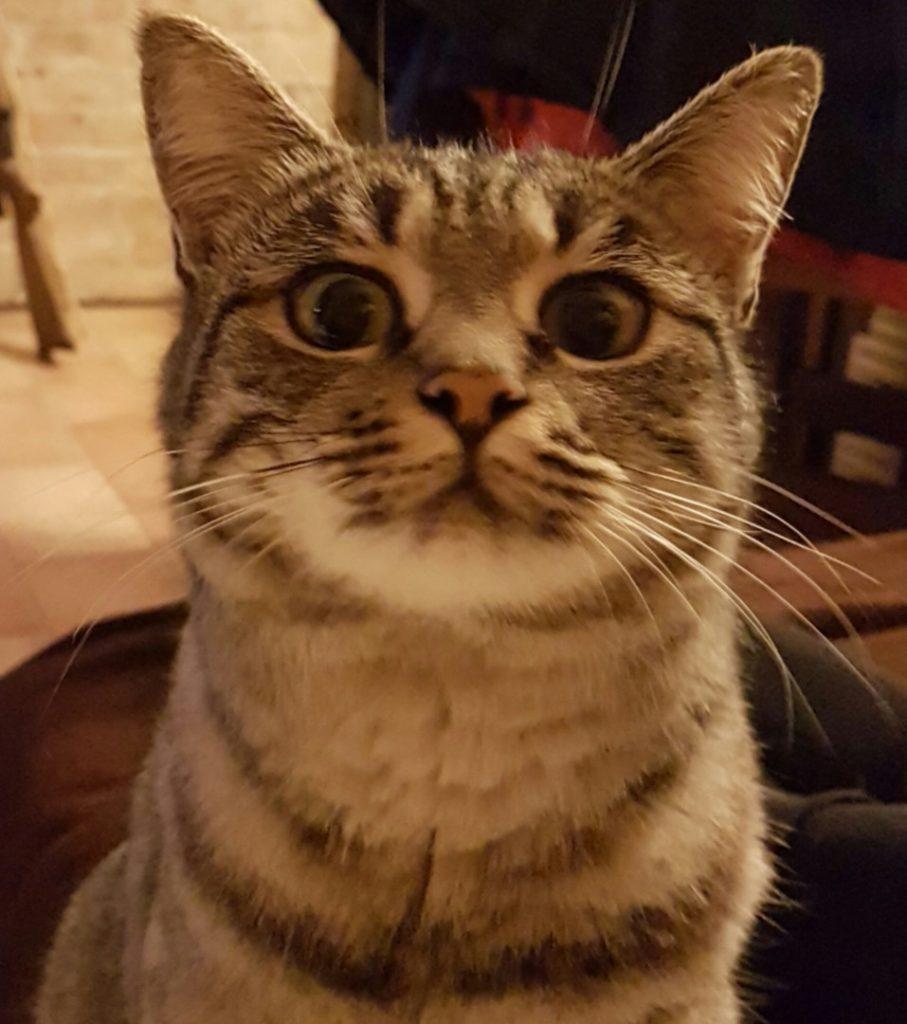 significato della posizione della testa nel gatto