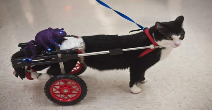 Scooter-il-gatto-a-due-zampe-che-sostiene-i-malati
