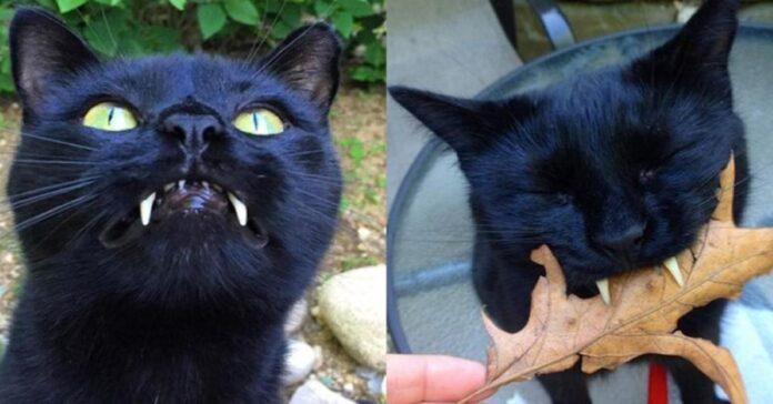 Sergio-il-gatto-nero-simile-ad-un-vampiro
