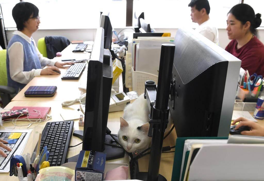gatto sulle scrivanie