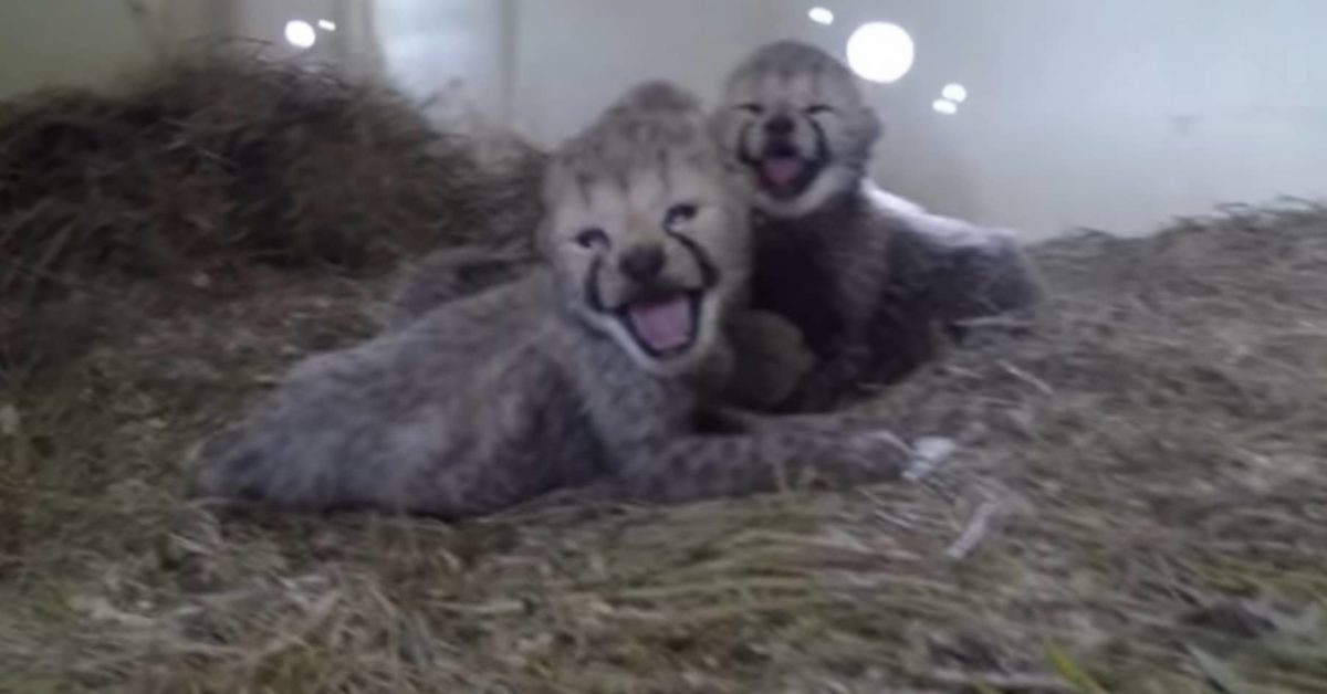 gattini selvatici neonati