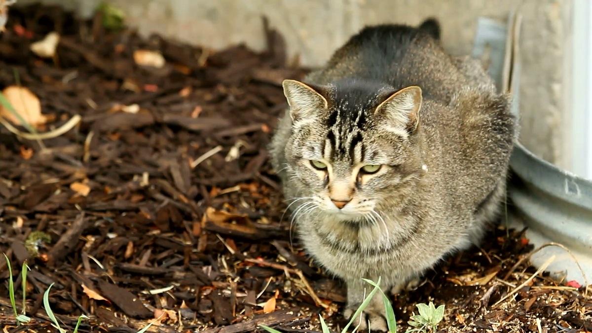 i parassiti intestinali nei gatti possono causare diarrea e vomito