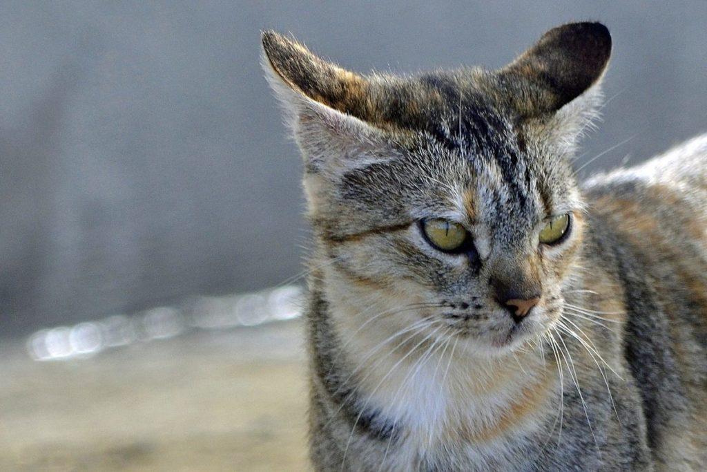 attacchi epilettici in un gatto vecchio