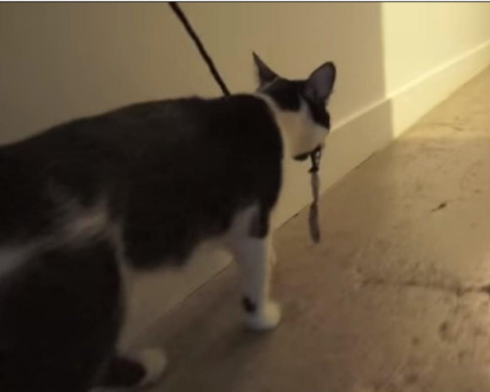 il gatto con comportamenti da cane
