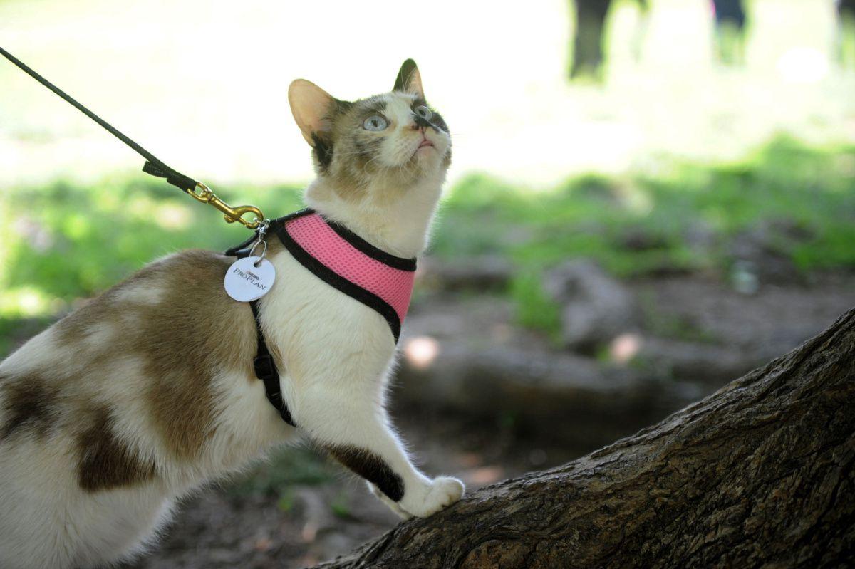 Come Addestrare un Gatto al Guinzaglio: 9 Passaggi