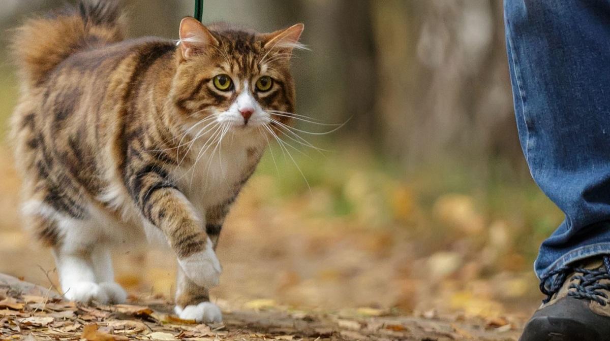 Come abituare un gatto a guinzaglio e pettorina | Il mio ...