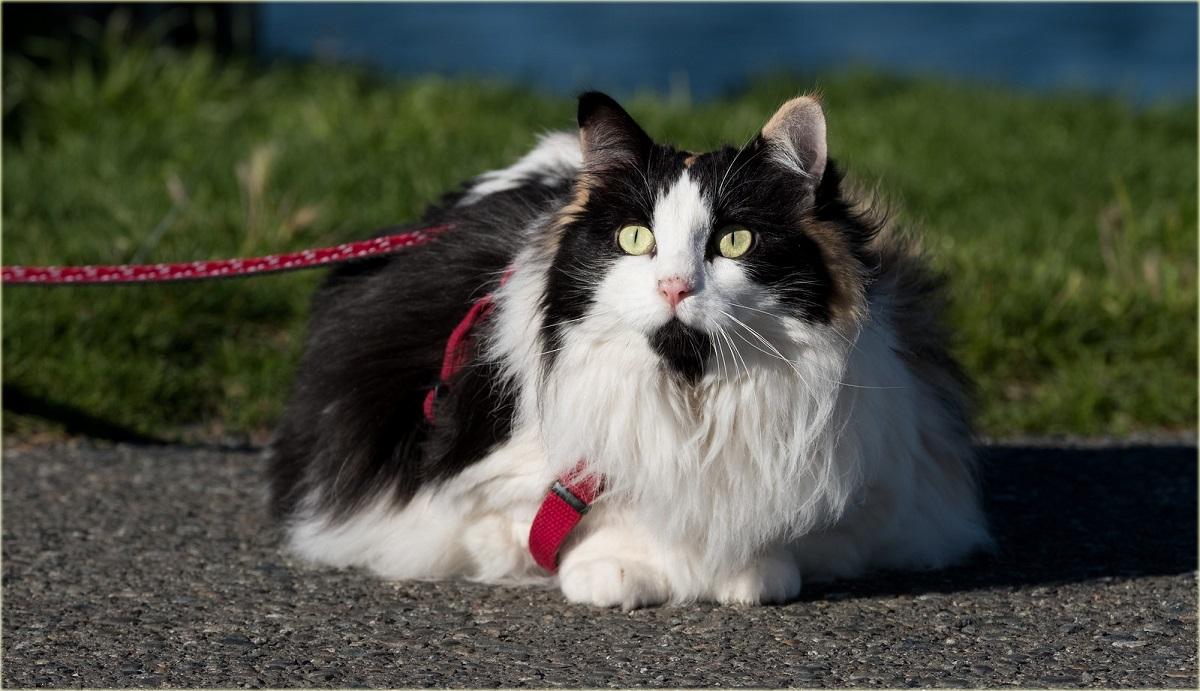 gatto imbracatura rossa