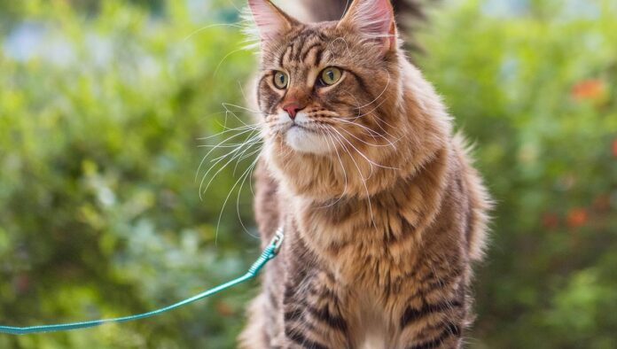 gatto guinzaglio verde
