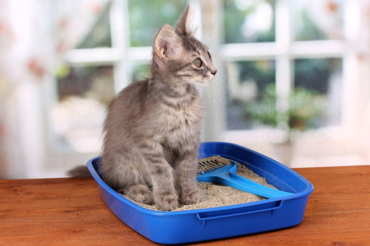 gattino-su-lettiera