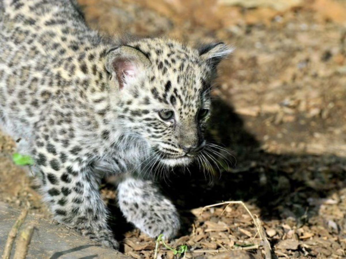 piccolo-cucciolo-di-leopardo
