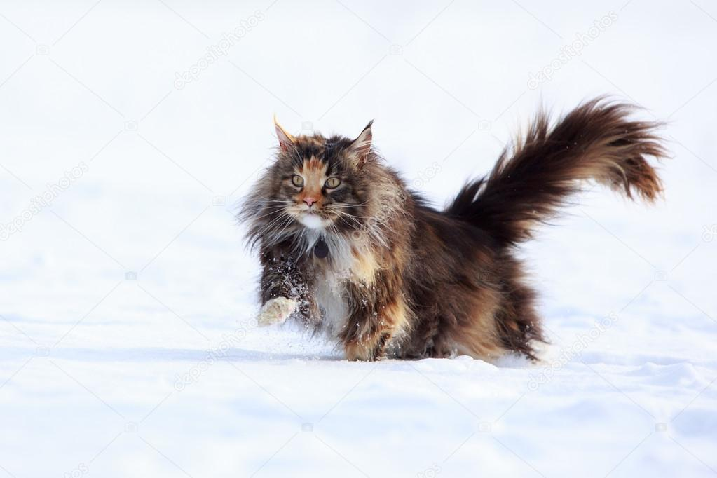 maine-coon-sulla-neve