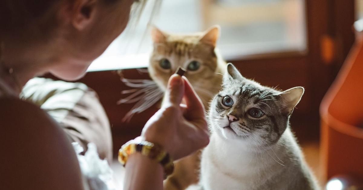 gatti che guardano cibo