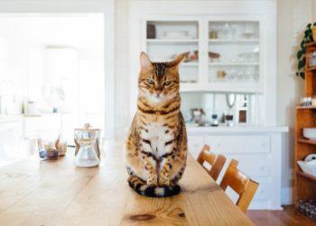 gatto sul tavolo